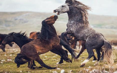 """L'insolita storia dell'amicizia tra """"Lupi di Livno"""" e i cavalli selvaggi delle alture bosniaco erzegovesi"""
